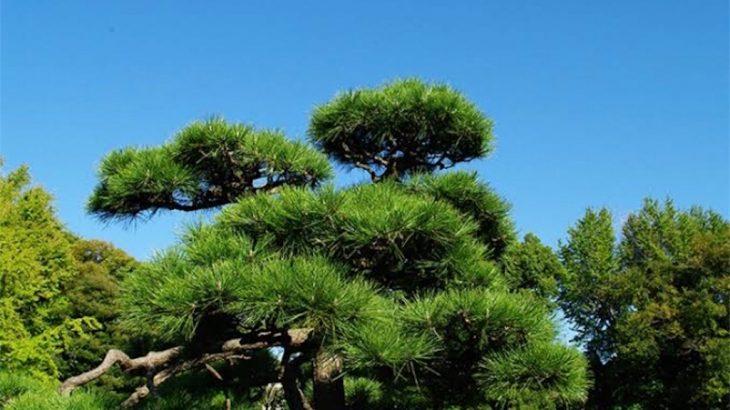 長唄「松の緑」の歌詞と解説
